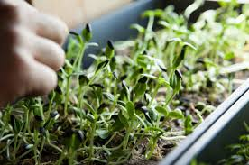 What Is An Indoor Garden Called - the 16 best healthy edible plants to grow indoors greatist