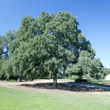 roseville forest foundation blue oak