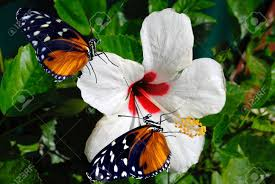 hibiscus flower with 2 heliconius hecate butterflies stock photo