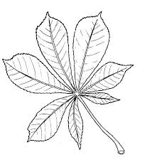 drawing of horse chestnut leaf kastanjeblad voor rianne