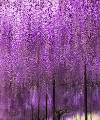 wisteria meaning byakugouji temple tanba hyogo japan wisteria 白毫寺 丹波