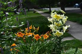 day lilies lilies and daylilies gardeninacity