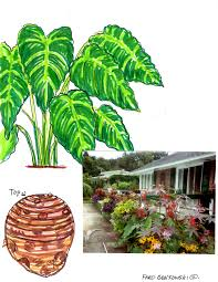 container planted or in the ground elephant ear plants are a