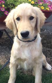 Comfort Retrievers North Star Golden Retrievers Trained Puppies