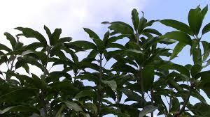 backyard fruit tree in winter glenn mango tree in florida