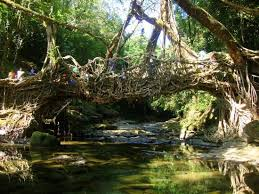living root bridge riwai picture of roots bridges mawlynnong