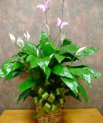 Peace Lily Plant Peace Lily Plant Online Florist With Flower Delivery In Kingwood