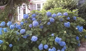 hydrangeas u2013 nature u0027s gift to cape cod city garden ideas