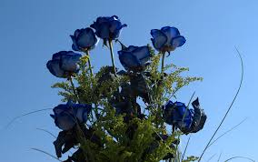 Blue Roses Blue Roses Wallpaper Pictures 10532 1920x1202 Umad Com