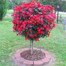 knockout trees for sale brighter blooms nursery