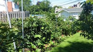 best thornless blackberry general fruit growing growing fruit