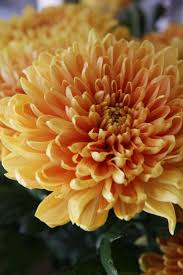 184 best flowers chrysanthemums images on pinterest