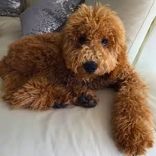 testimonials of goldendoodle puppies by island grove doodles