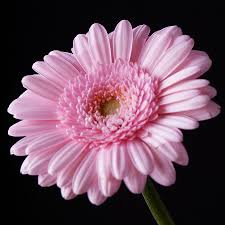 pink gerbera daisy flower on black photograph by lynne dymond