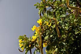 australian garden flowers free images tree branch blossom fruit leaf flower food