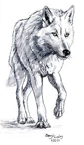 drawn coyote wolf pencil and in color drawn coyote wolf