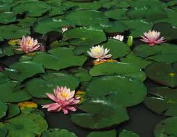 native plants missouri water lilies mdc discover nature