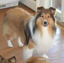 Sheltie Groomer At Your Service In Newark Delaware