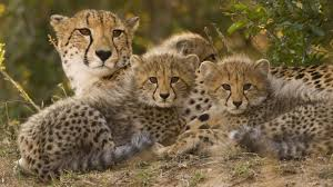 cheetah mom cubs ngsversion 1461770750320 jpg