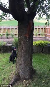 cheeky squirrel teases dopey in hilarious tree daily