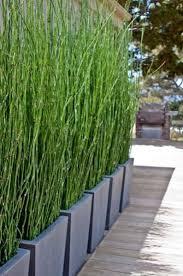 Garden Privacy Ideas Thin Plants For Screening Best 25 Garden Privacy Ideas On