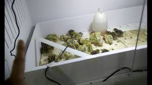 custom built quail chicken bird brooder box youtube