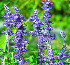 Salvia Flower Stunning Perennial Flower Garden With 10 Easy To Grow Varieties