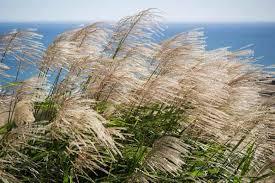 miscanthus sinensis gracillimus maiden grass