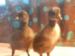 finally got our ducks from orschelns what did we get backyard
