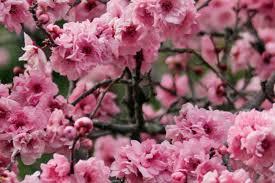 blossom trees do it yourself blossom trees australian handyman magazine