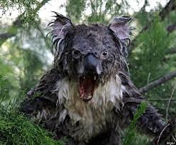 Angry Koala Meme - wet koala photoshop hoax picture of scary marsupial goes viral