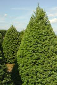 douglas fir christmas tree deerbrooke farm photo gallery premium christmas tree lot in las