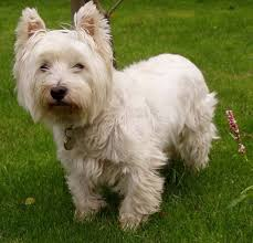 images of westie hair cuts yorkie haircuts petcarepricing com