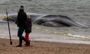 beached whale to be buried in breezy point queens where it washed
