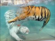 Tigres nadadores são atração em zoo de San Francisco; veja