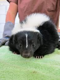 muddy skunk at wildcare u2013 wildcare