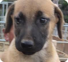 belgian malinois breeder california dude adopted puppy poway ca belgian malinois labrador
