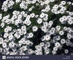 african daises osteospermum hort plant flower white petal aster