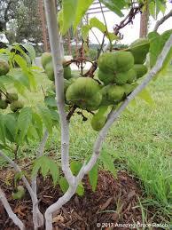 texas native plants database false foxglove