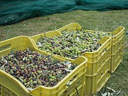 cassette per raccolta olive fattoria delle sedie vierge olive toscane igp