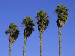free stock photo in high resolution palm trees plants