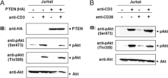 role of two adaptor molecules slp 76 and lat in the pi3k signaling