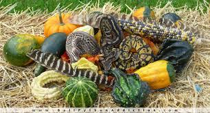 thanksgiving season happy thanksgiving day season u2013 ball python addiction u2013 www