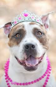 american pitbull terrier akc american pit bull terrier dog breed information pictures