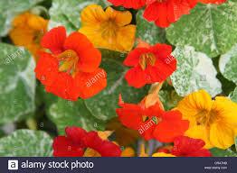 nasturtium flowers orange and yellow alaska nasturtium flowers and leaves up