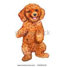 show poodle stock images royalty free images u0026 vectors