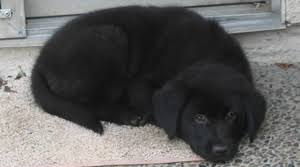 belgian sheepdog lab mix do you have a smart dog puppy in training
