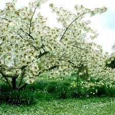 Abris De Jardin Cerisier by Cerisier Planter Et Cultiver U2013 Ooreka
