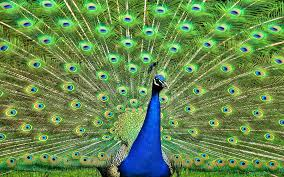 peacock free download clip art free clip art on clipart library