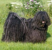 belgian sheepdog on petfinder adopt a puli dog breeds petfinder